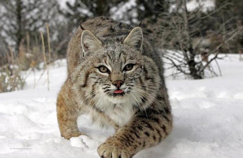 Итоги 2017 года подвели в Кировской области: о добытых волках, квотах на рысь и воспроизводстве глухарей