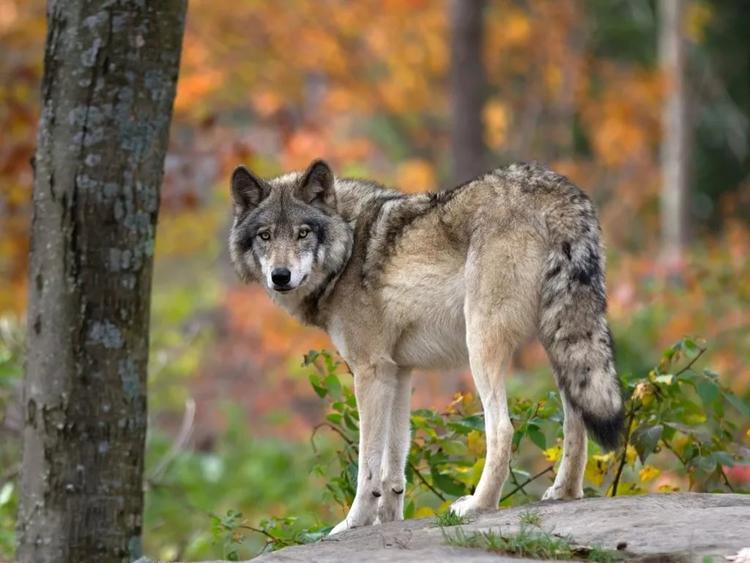 В Правительстве Кировской области обсудили проблему высокой численности волка