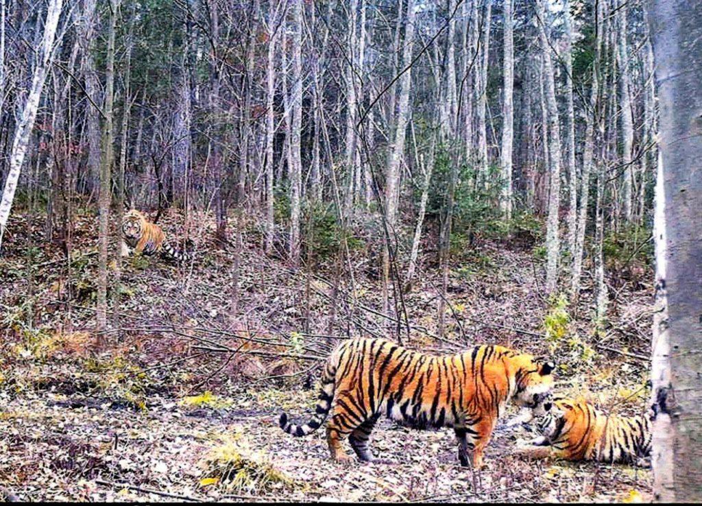 Полосатые охотники