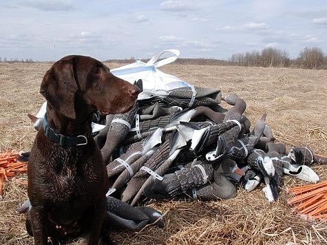 Из-за охоты на Чукотку прилетело рекордное количество гусей