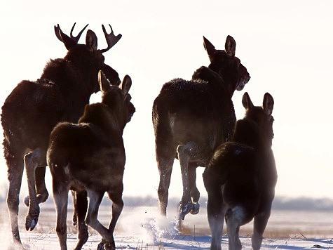 Открытие охоты на лося: числом и умением