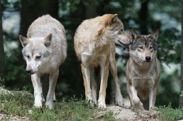Зверская история. Почему волки стали нападать на людей в Тверской области